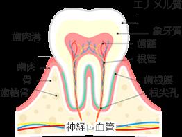 図:神経・血管 歯槽骨 骨 歯肉 歯肉溝 根尖孔 歯根膜 根管 歯髄 象牙質 エナメル質